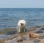 White swiss shepherd coming out of the water poster