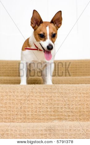 Jack Russell Terrier On A Staircase