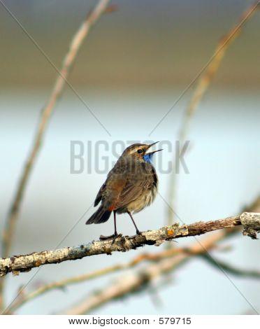 Reedwarbler