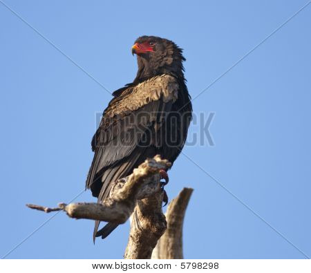 The bateleur (terathopius ecaudatus) is a medium-sized eagle in the bird family accipitridae. This is a common resident species of the open savanna country in Sub-Saharan Africa including South Africa. poster