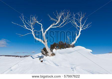 Snow Gum
