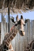 Giraffe, tall magnificent animals with towering neck to see the world. But makes it very hard to eat from the groun d poster
