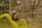 Eurasian Eagle Owl standing on rock with moss with hunt down mouse poster