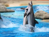 happy dolphins jumping out of the water poster