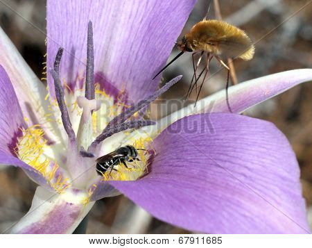 Bee and Bee-fly on a Mariposa Lily