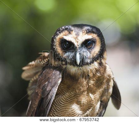 Closeup detail of brown wood owl strix leptogrammica poster