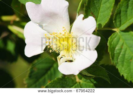 Macro picture bloom of thorn (brier, sweetbrier, eglantine) poster