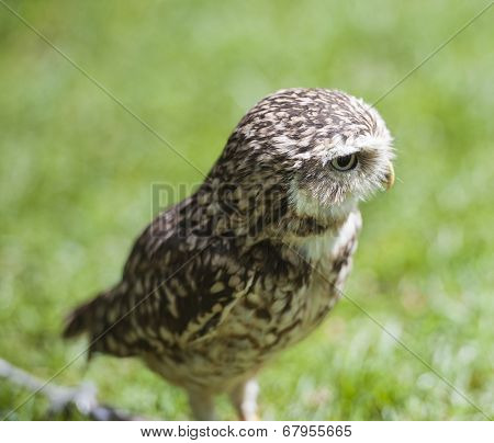 Closeup Of Burrowing Owl