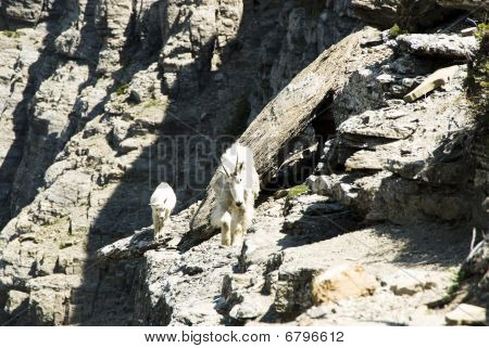 a nanny mountain goat and kid walking on a ledge along the High line trail in Glacier National Park poster