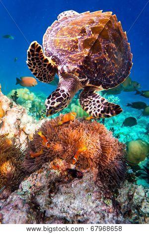 Hawksbill Turtle - Eretmochelys imbricata floats under water. Maldives Indian Ocean coral reef.