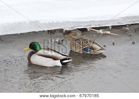 Mallard Ducks-Drake & Hen