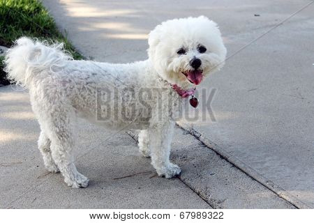 A beautiful pure breed Bichon Frise enjoys an warm spring afternoon in the sun while out for a walk at the local dog park. Bichon Frise Dogs are always happy and smile at everyone they meet.