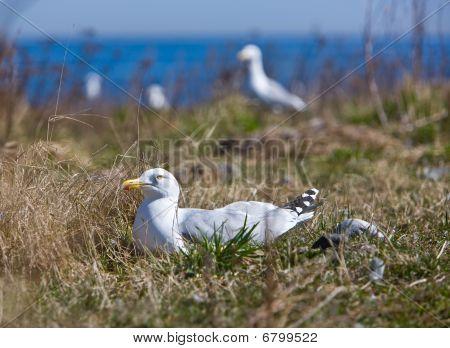 Nesting Seagull
