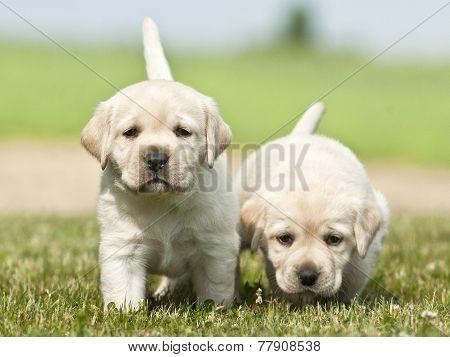 2 puppies Labrador