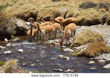 Vicuna in Water