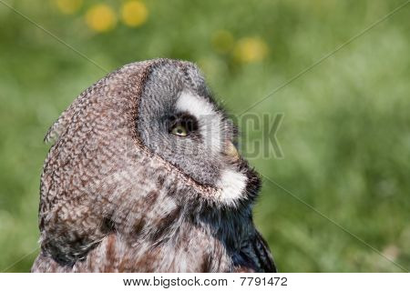 Owl Sitting In Grass Looking At The Sky