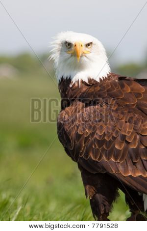 Beautiful Eagle Sitting In The Grass Looking Into Camera