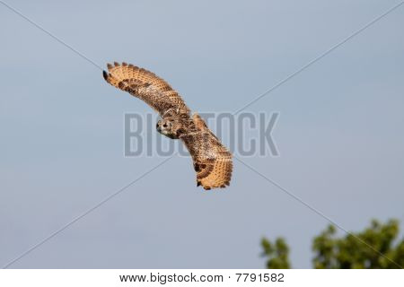 Beautiful Owl Flying In The Sky Looking For Prey