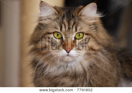 Cat With Green Eyes Looking Into Camera