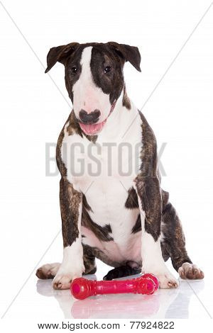 brindle 5 months old english bull terrier puppy poster