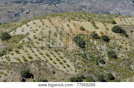 hill with almond trees in the Alpujarra Granada
