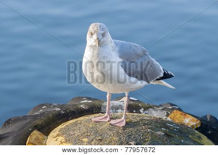 Stock Photo Of A Seagull In Harbor.