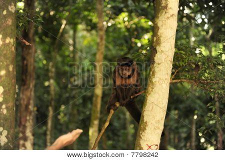 Tourist feeding a tufted capuchin monkey Brazil poster