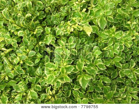 Hedge Plants