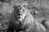 Male Lion basking in the afternoon sun poster
