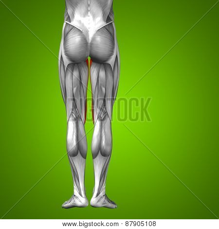 Concept or conceptual 3D gracilis human upper leg anatomy or anatomical and muscle on green gradient background poster