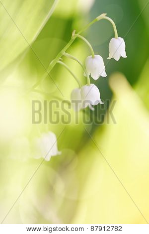 Flowers Of A Wild-growing Lily Of The Valley