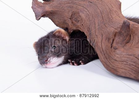 small animal rodent ferret on a white background. sharpening his teeth on a wooden snag poster