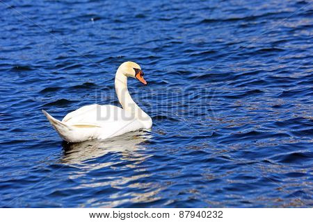 Beautiful White Swan Swimming In The Clear Water Of The Lake