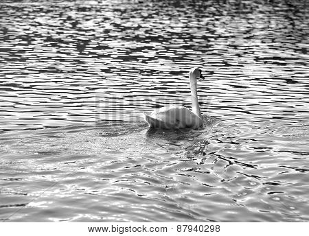 Mute Swan Swimming In The Water Black And White