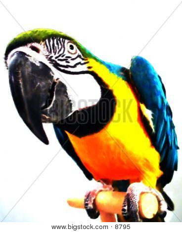 Painted Macaw Close