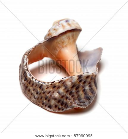 Broken Shell From Rapana On White Background