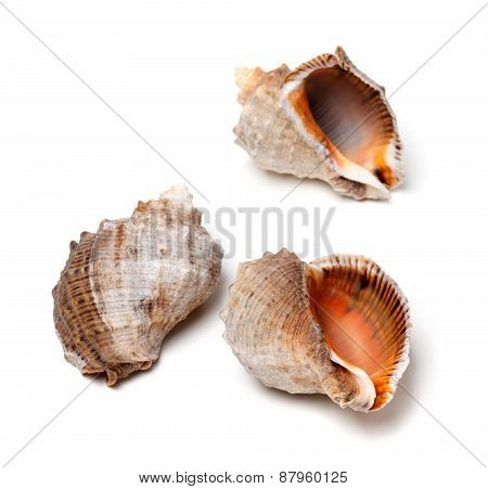 Three Shells From Rapana Venosa