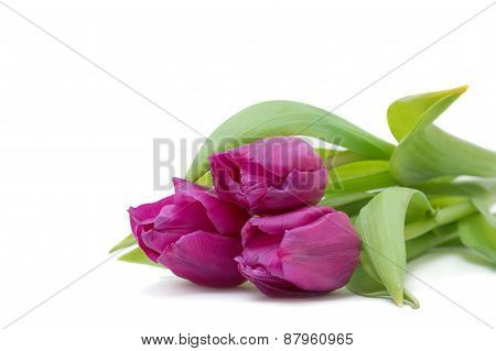 Beautiful Violet Tulips On White Background