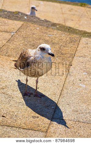 Brown gull