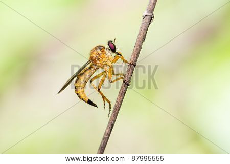 .robber Fly, Asilidae Machimus Holding