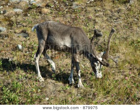 wild reindeer grazing on the edge of forest. young animal. poster