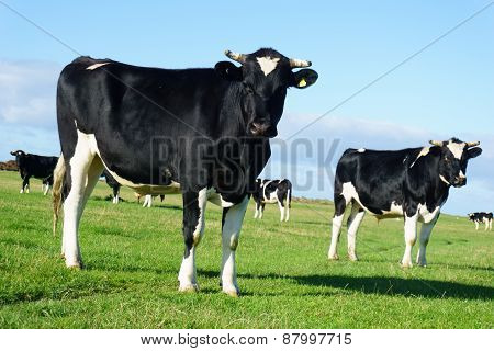 Friesan Cows In Paddock