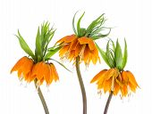 Three orange Imperial Crown (Fritillaria Imperialis) isolated on white background poster