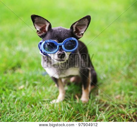 a cute chihuahua wearing goggles in the grass