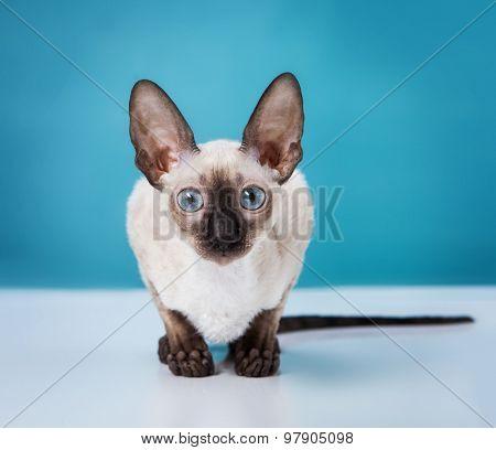 Cornish Rex kitten isolated on white background