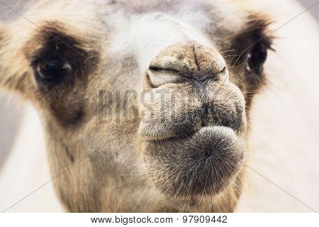 Bactrian Camel Closeup Portrait