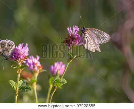 Black-veined white butterfly.