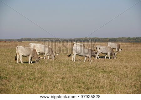 Herd Of  Hungarian Grey Steppe Cattle Grazing On Meadow poster