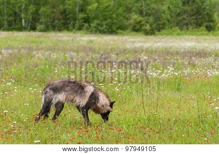 Black Phase Grey Wolf (Canis lupus) Sniffs in Field - captive animal poster