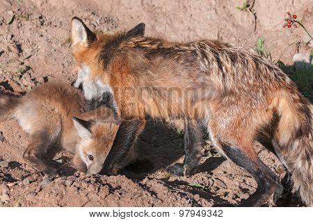 Red Fox Vixen (vulpes Vulpes) Grabs Kit